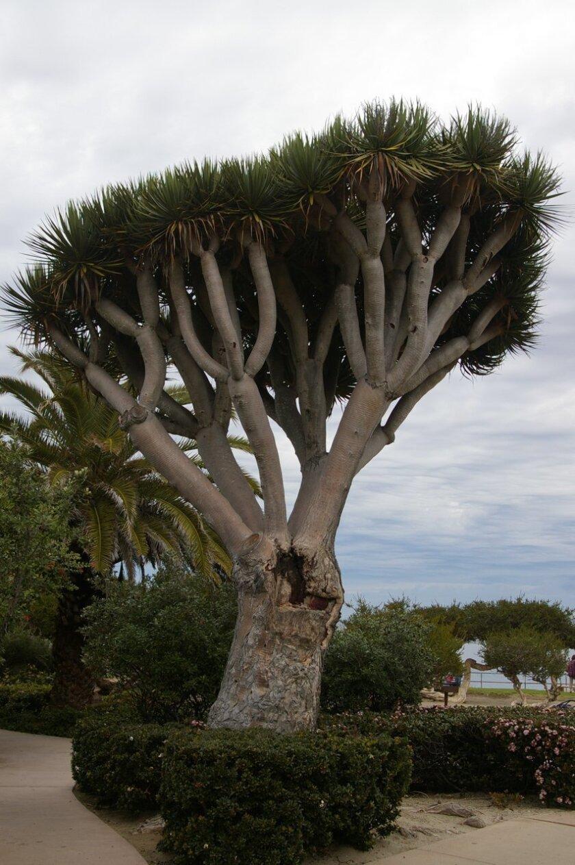 A tall dragon tree at the La Jolla Bridge Club at the Cove. Photos by Kelly Stewart