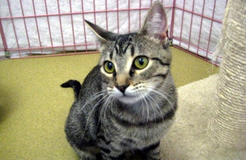 Pet of the Week is a shy kitty named Zephyr