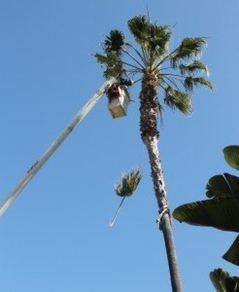 An employee with Atlas Environmental Services trimmed fronds from a palm tree on lower Girard Avenue Friday morning, May 10.