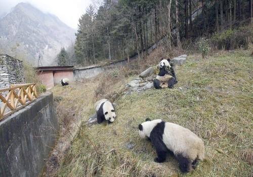 Pandas at China's Wolong Giant Panda Protection and Research Center