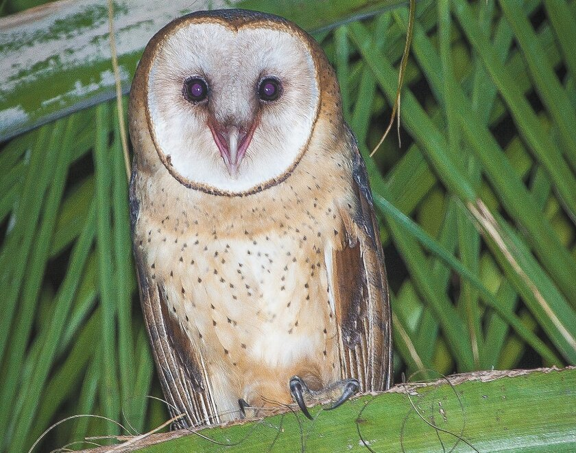 A barn owl chick rests on a palm branch near a nest box as it learns to feed and fly.