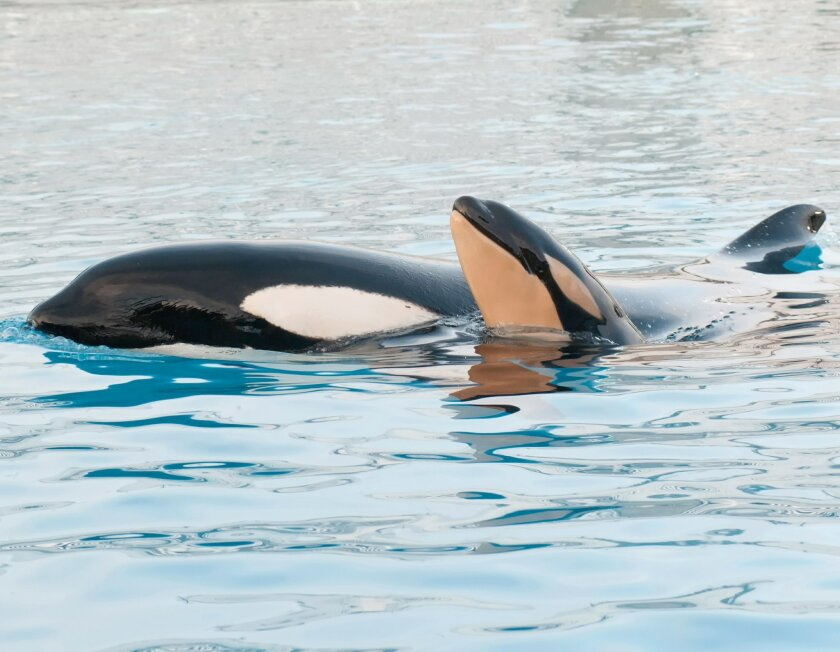 After a nearly 18-month gestation, Kasatka's calf was born Feb. 14, 2013 in Shamu Stadium's main show pool following a little more than an hour of labor.  Photo Seaworld.