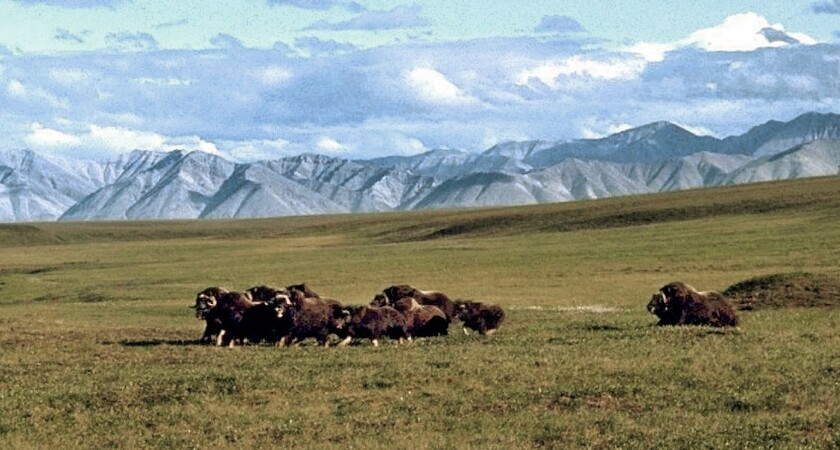 The Trump administration is rushing to sell oil leases in part of the Arctic National Wildlife Refuge despite a lack of demand for the oil and the risk to the environment.