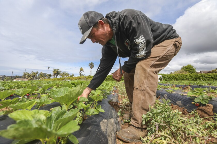 Farmer Luke Girling inspects strawberries growing on his farm on Friday in Oceanside. Girling says they will be harvesting strawberries and selling them along with other produce at his farm stand this Saturday and Sunday from 9am-12pm in the Fire Mountain area of Oceanside. Demand for his produce has doubled in the last couple of weeks according to Girling.