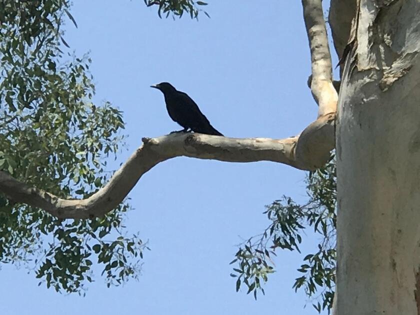 Crows prefer French fries in a McDonald's bag over a brown paper bag.