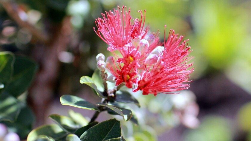 The ohia lehua is one of the native plants highlighted in the Hawaiian Plant Tour. Legend has it that plucking its flowers will produce rainfall.