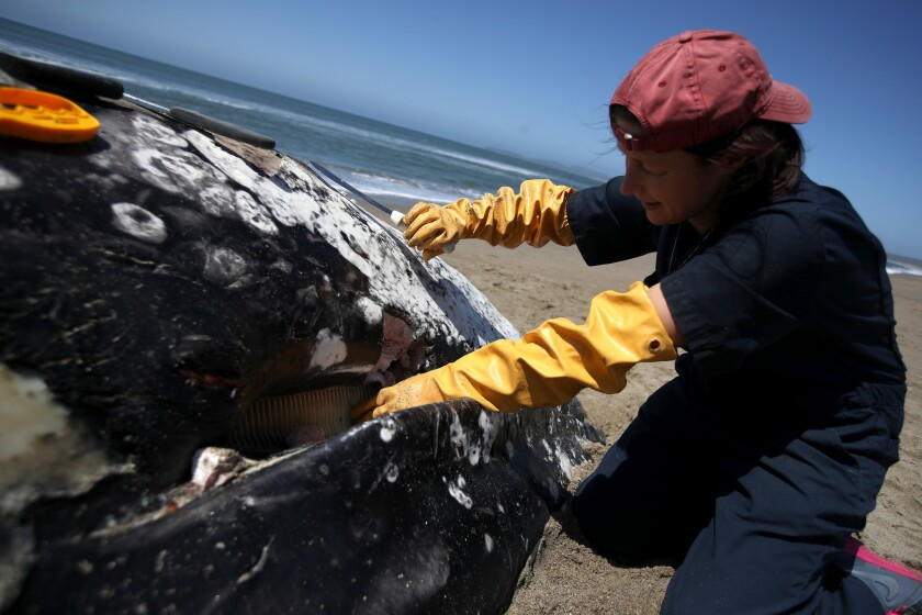 Scientists Examine 13th Dead Whale To Wash Up In Bay Area In 2019