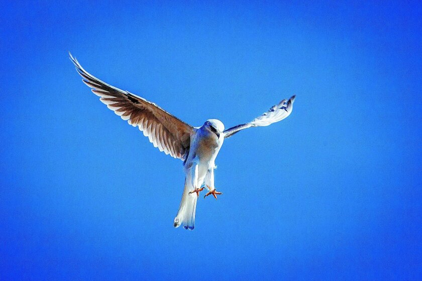 A white-tailed kite hovers over the brush surrounding Lake Hodges, looking for an unsuspecting rodent. Ernie Cowan