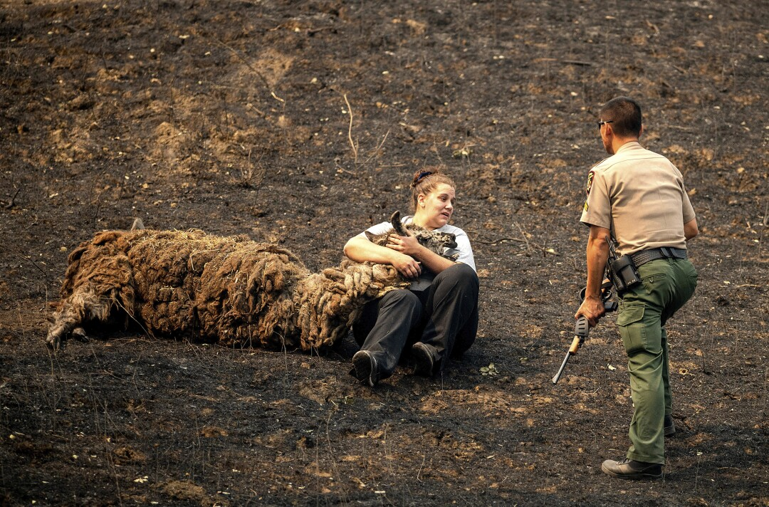 Veterinary technician Brianna Jeter comforts a llama injured in a wildfire in Vacaville, Calif.