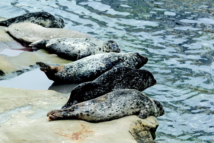 A Seal's Life: Rope up. Rope Down. Pupping at the Children's Pool continues to be precarious for pinnipeds.