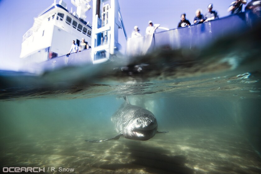 n this Aug. 23, 2016 photo provided by OCEARCH, a juvenile male great white shark named Paumanok swims away after researchers tagged and sampled him off the point of Montauk, N.Y.