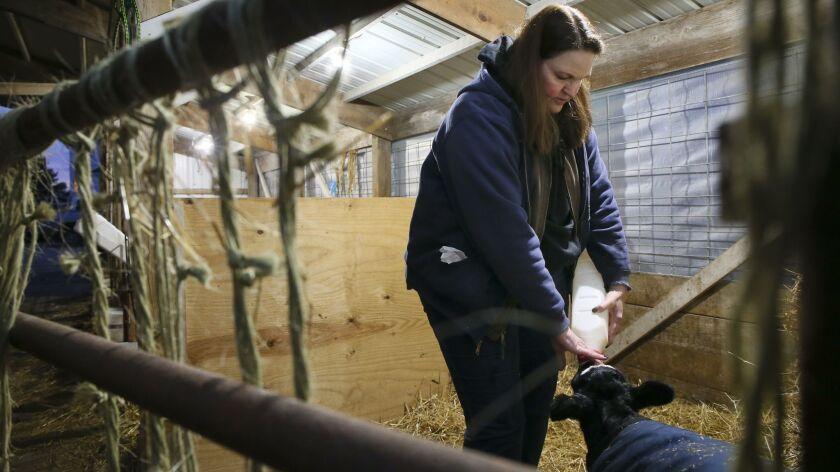 Michele Aavang feed baby calves bottles of milke at her family farm on Thursday, Jan. 10, 2019 in W