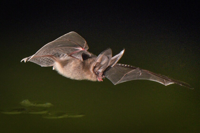 A Townsend's big-eared bat feeds at a pond in Anza-Borrego Desert State Park.
