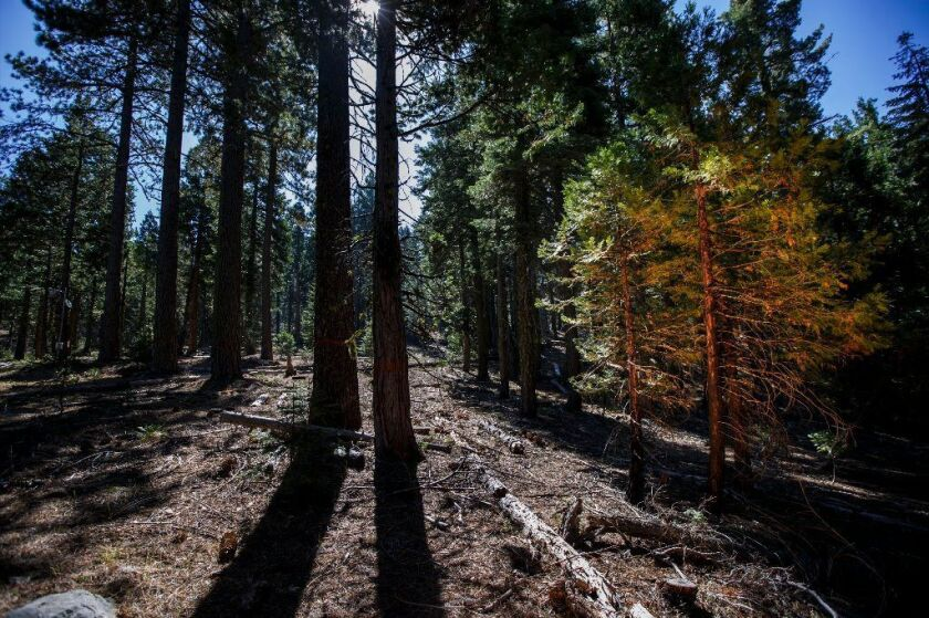 In the Stanislaus-Tuolumne Experimental Forest, one area, left, was cleared of undergrowth and small trees, making it less fire prone than the denser, untreated area on the right. Blue Forest is financing similar work in the Tahoe National Forest. photo credit: Marcus Yam, Los Angeles Times