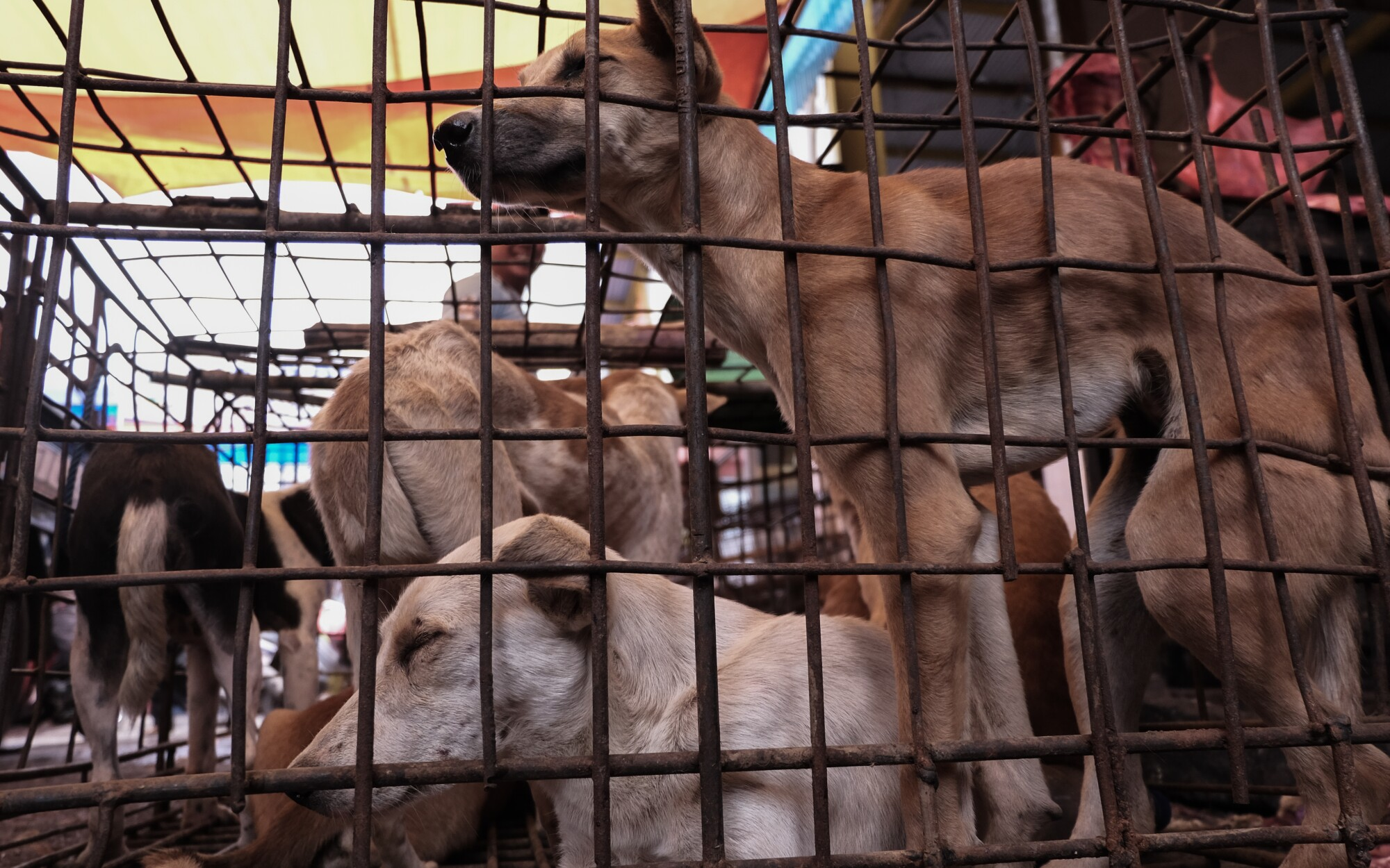 Dogs are held in an iron cage at a market in Tomohon, Indonesia