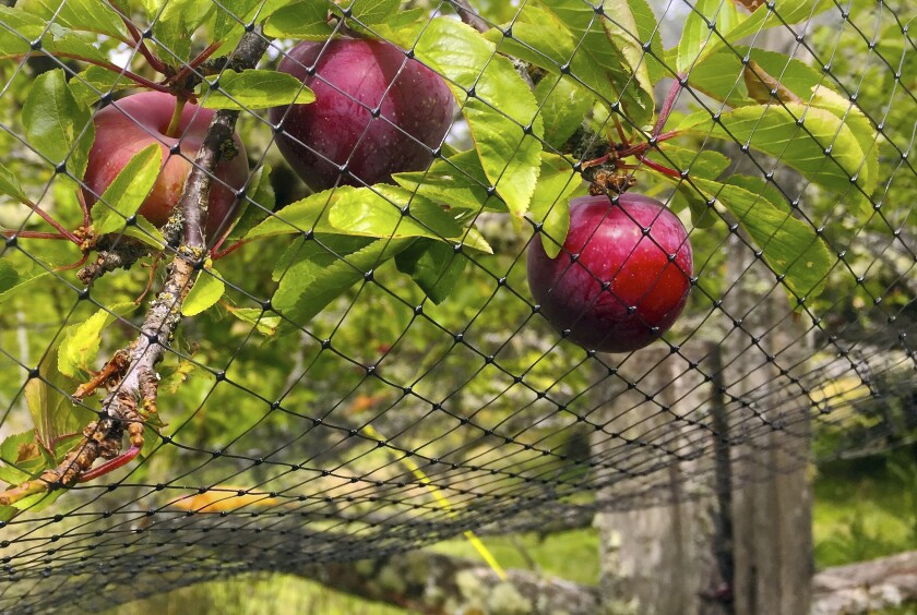 This photo taken July 7, 2019, in an orchard near Langley, Wash., shows netting that has been thrown over a small fruit tree to discourage foraging by birds. Netting is cheap but is cumbersome to drape over anything but small fruit trees, berry-laden vines and shrubs. Even small openings will allow birds to feed. (Dean Fosdick via AP)