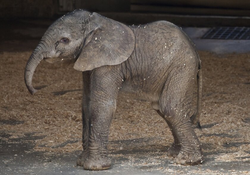 An elephant born Monday evening is the Wild Animal Park's newest addition.