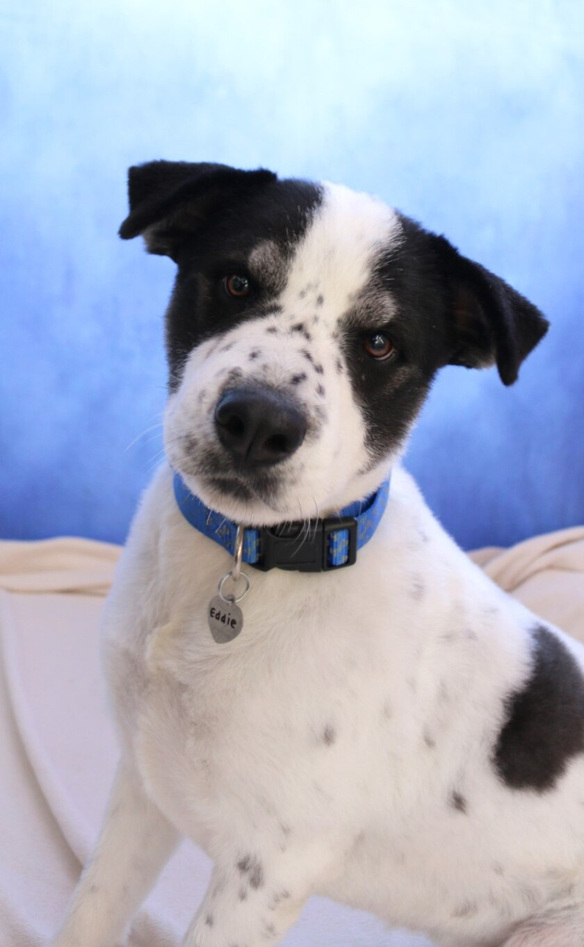 Pet of the Week is Eddie. If there's nobody to play with, Eddie will toss his toy in the air, then fetch it himself.