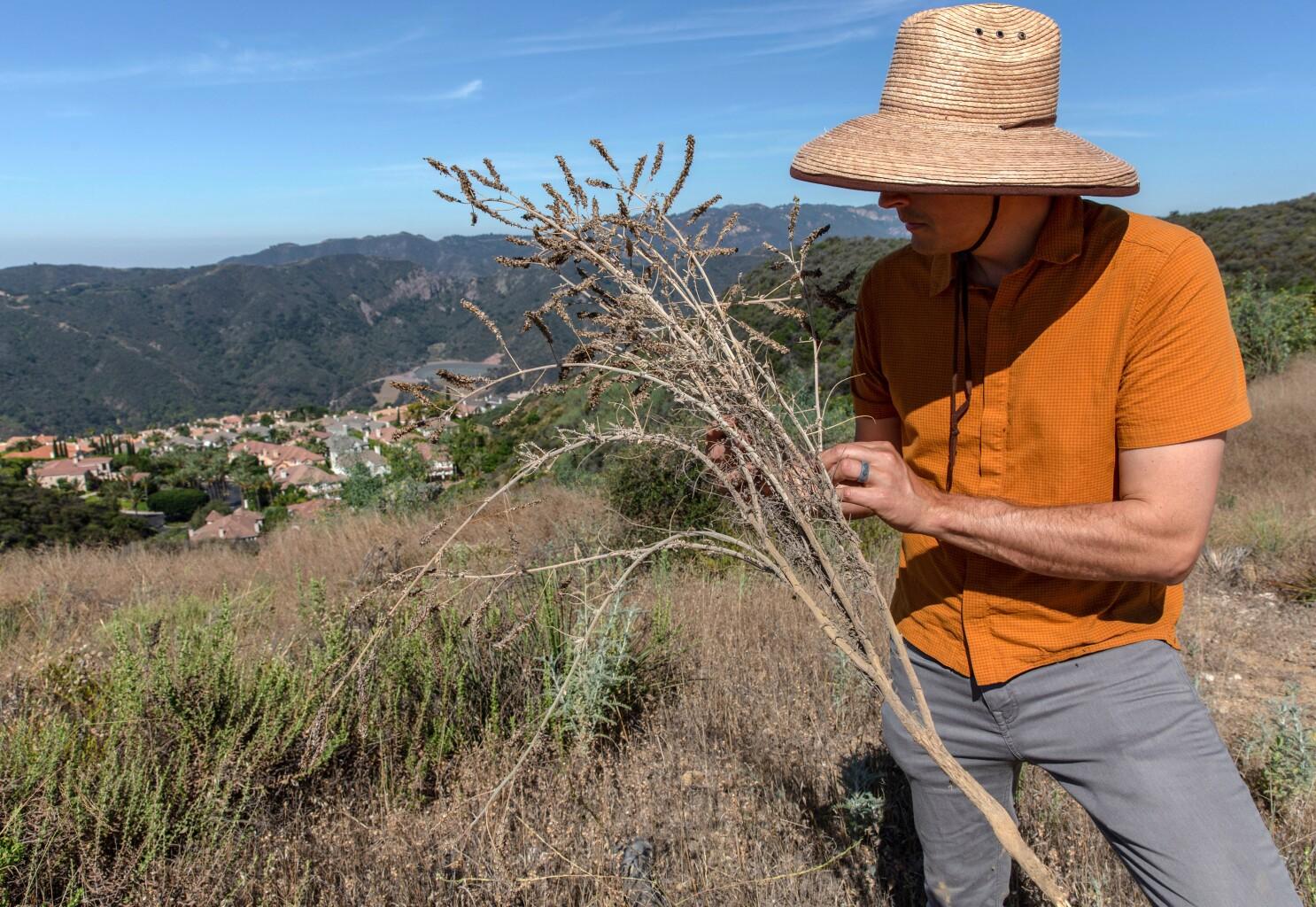 Los Angeles bulldozed endangered plants at Topanga State Park