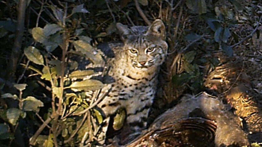 A bobcat is photographed in the Los Padres National Forest near Goleta, Calif. Commercial trapping of bobcats was banned in the state four years ago.