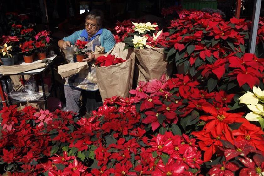 Photo taken on Dec. 19, 2018, in a Mexico City market showing poinsettias for sale, the traditional flower of the Christmas holidays. EFE-EPA/Sashenka Gutierrez