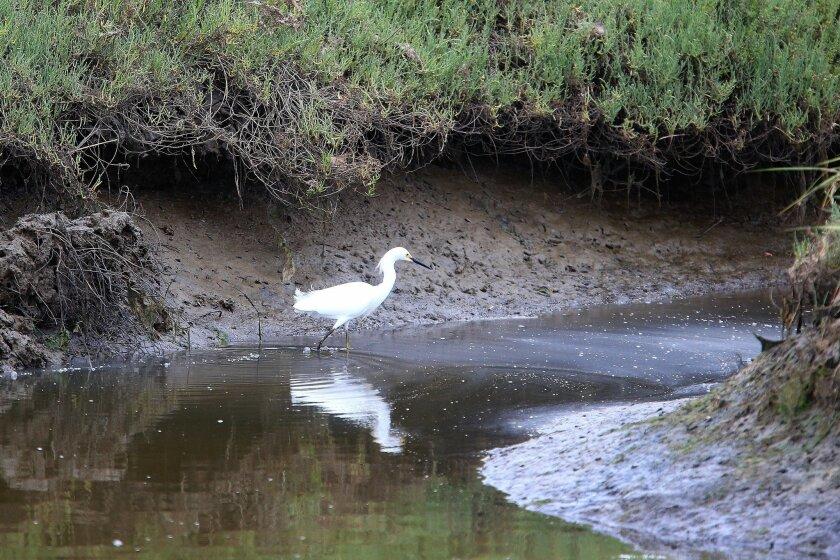 A Snowy Egret walks through the wetlands of the Tijuana Estuary.