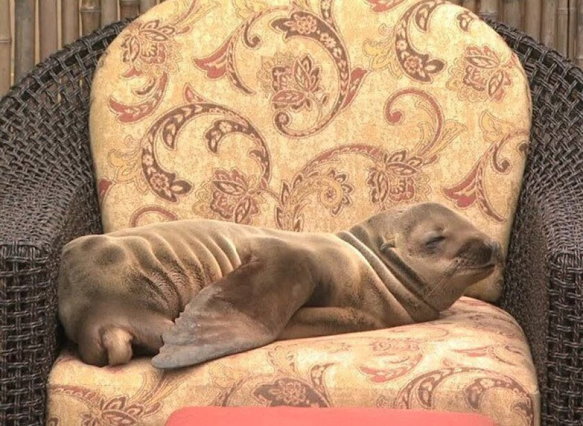 This sea lion pup was found lounging in a patio chair of La Jolla's Pantai Inn in March. Animal experts noticed an unexplained epidemic of starving sea lions wandering up from the beach earlier this year that has largely subsided.