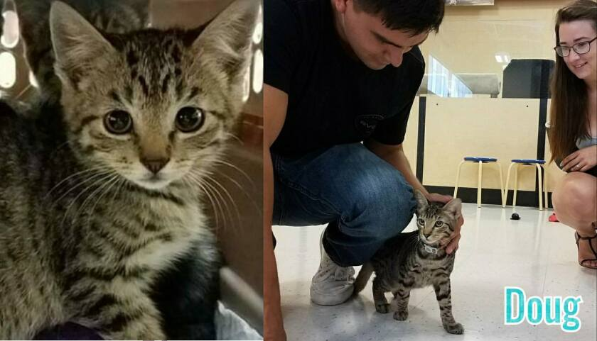 Before and after photos of Doug, a feral kitten when he was taken in by Love Your Feral Felines, lef