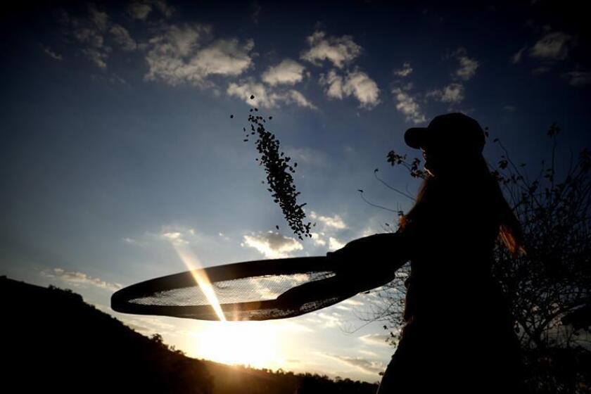 Fotografía que muestra un agricultor mientras cuela granos de café, en el campo. EFE/Archivo