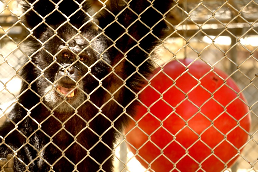 One of the 32 chimpanzees that still resides at the shuttered Wildlife Waystation on World Chimpanzee Day