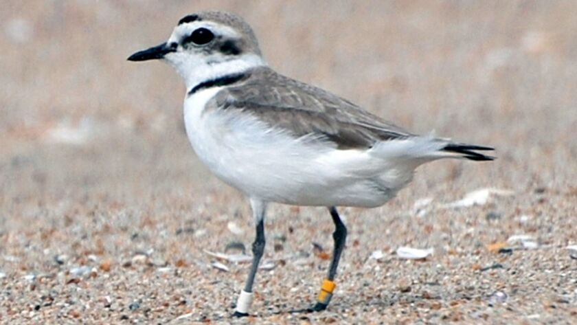Concerns about the Western snowy plover, pictured, and the California least tern have delayed an Ora