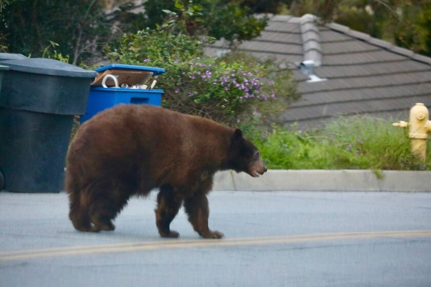 A black bear wanders along Canyon Road in Arcadia on Wednesday.
