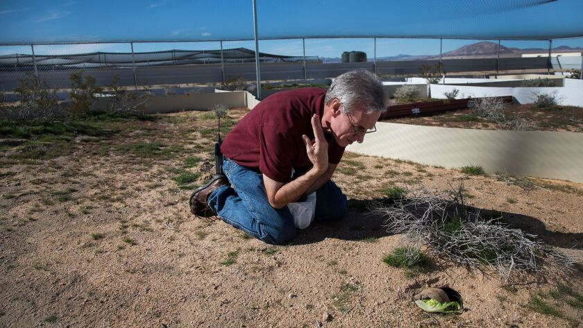 Biologist Brian Henen observes a young desert tortoise inside a pen set up to protect the species at the Marine Corps Air Ground Combat Center in Twentynine Palms.