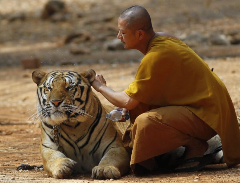 """A Thai Buddhist monk plays with a tiger at the """"Tiger Temple,"""" in Saiyok district in Kanchanaburi province, west of Bangkok on Feb. 12."""