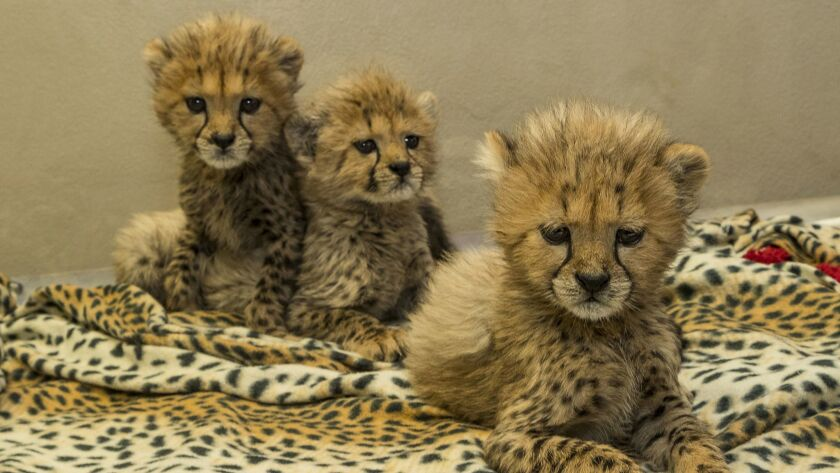 A Trio of Cuteness: Three Cheetah Cub Siblings Being Cared for at San Diego Zoo Safari Park Ione and Paul Harter Animal Care Center Three cheetah siblings—one male and two females—appear to be c