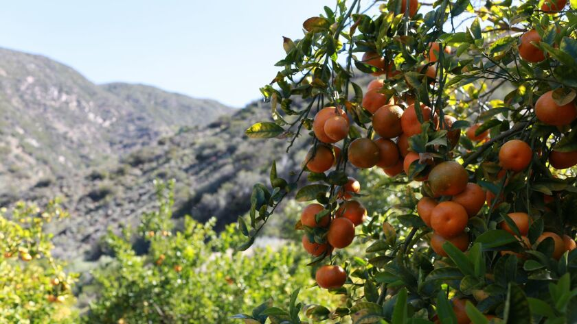 Pixie tangerine season in Ojai lasts through early May. The town declares April as Pixie Month, with offers and seasonal specials at spas, restaurants, bars and other businesses.