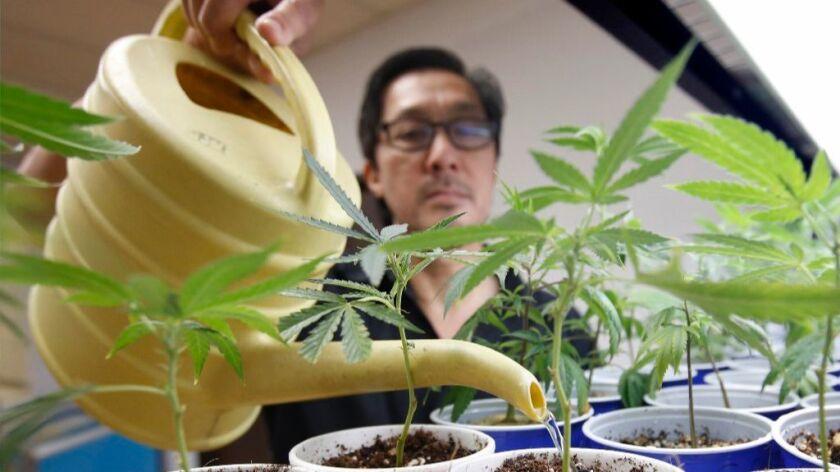 In Aug. 19, 2015 file photo, Canna Care employee John Hough waters young marijuana plants at the medical marijuana dispensary in Sacramento, Calif.