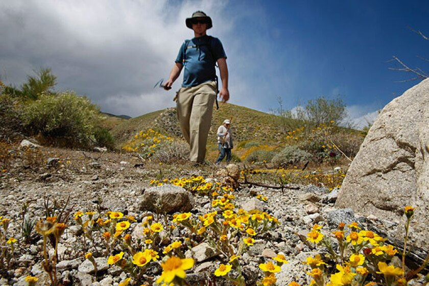 Volunteers walk through Whitewater Canyon during a biological inventory of the area. Winter rains have made the canyon preserve flush with wildflowers and blooming plants. See full story
