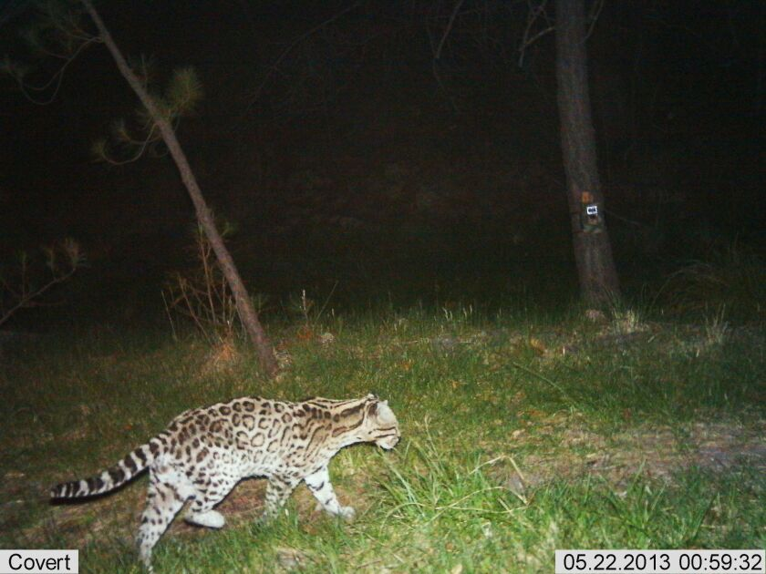 Ocelot  in Arizona's Santa Rita Mountains