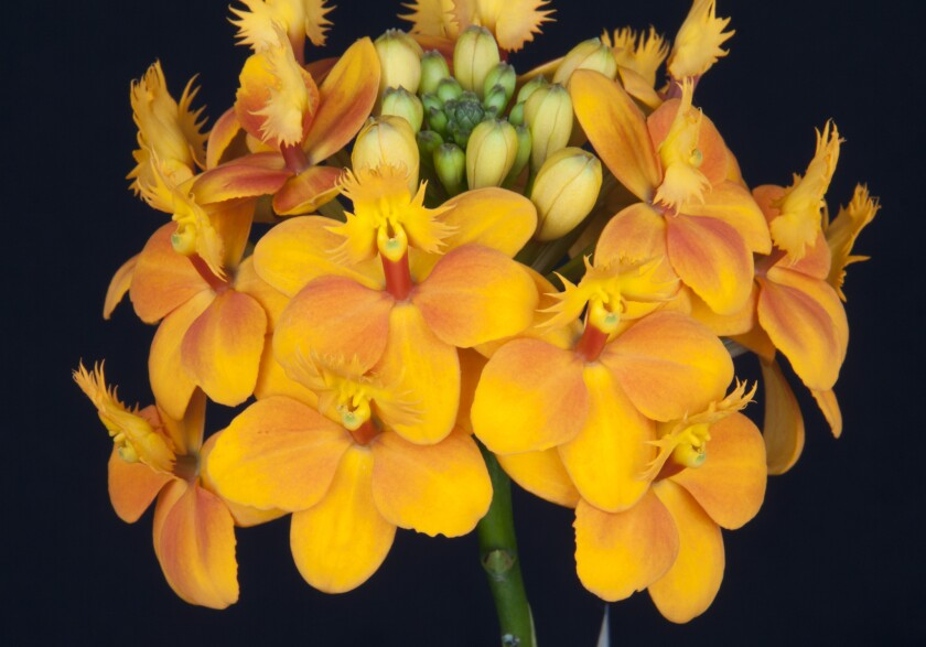Orchids come in mouthwatering colors, such as this epidendrum Pacific classic 'Gold Cup.' You can see many varieties at the South Bay Orchid Society Fall Show & Sale on Sept. 14-15.