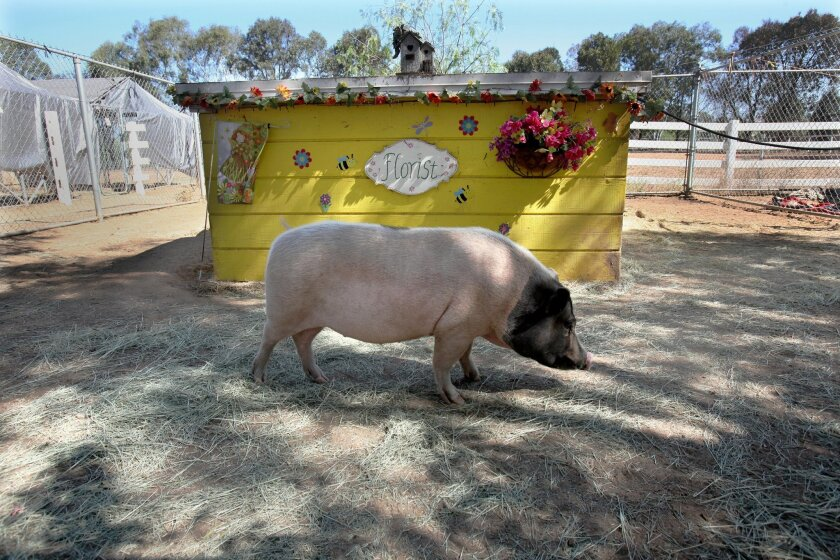 Opie is one of the potbellied pigs that lives at Grazin' Pig Acres in Ramona. His pen has the florist hut. Many of the pens are themed with other pens like doctor's office, a saloon, a hat shop and general store.