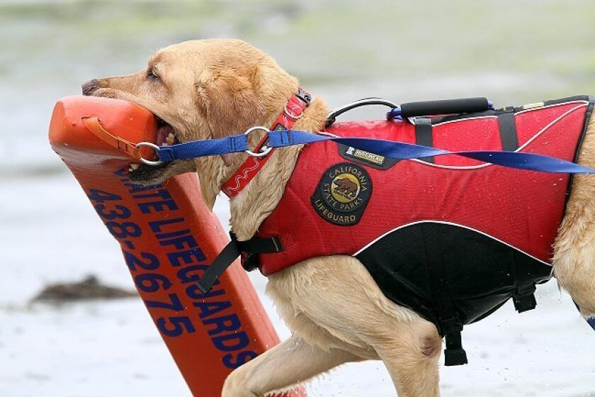 """Rummy, a Labrador retriever, carries a rescue buoy during training at San Elijo State Beach. For their own safety, the dogs wear """"float coats"""" -- life jackets that allow natural movement."""