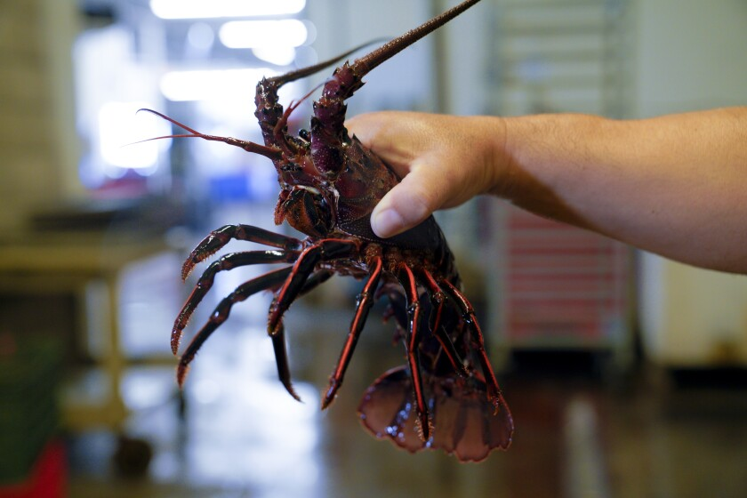 A California spiny lobster is lifted from the live tank at Catalina Offstore Products' fish market.