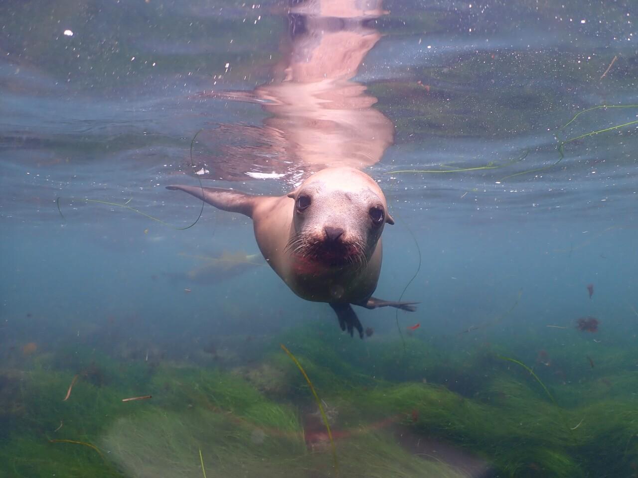 A curious sea lion greets Sarah McTague as she snorkels at La Jolla Cove.