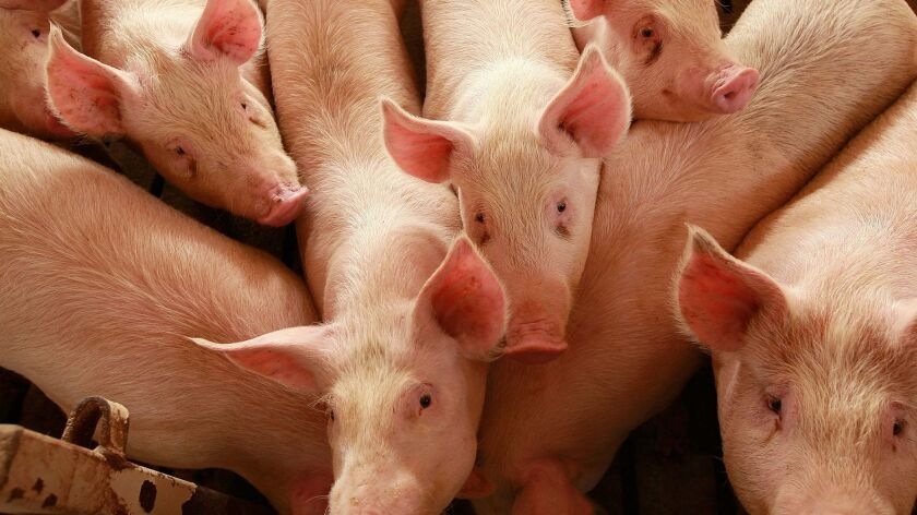 With the government's blessing, five U.S. hog plants have pioneered a food safety experiment: They have fewer inspectors and operate free of a rule meant as a safeguard from disease. Above, farm-raised hogs in 2009.