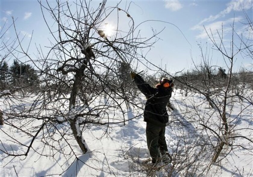 Ben Wilson reaches up to prune an apple tree at Smolak Farms in North Andover, Mass. Monday, Jan. 12, 2009. Most residents in New England heeded the authorities' warnings Sunday to stay off roads after the storm dumped up to 9 inches of snow in some areas in Massachusetts and sleet and freezing rai