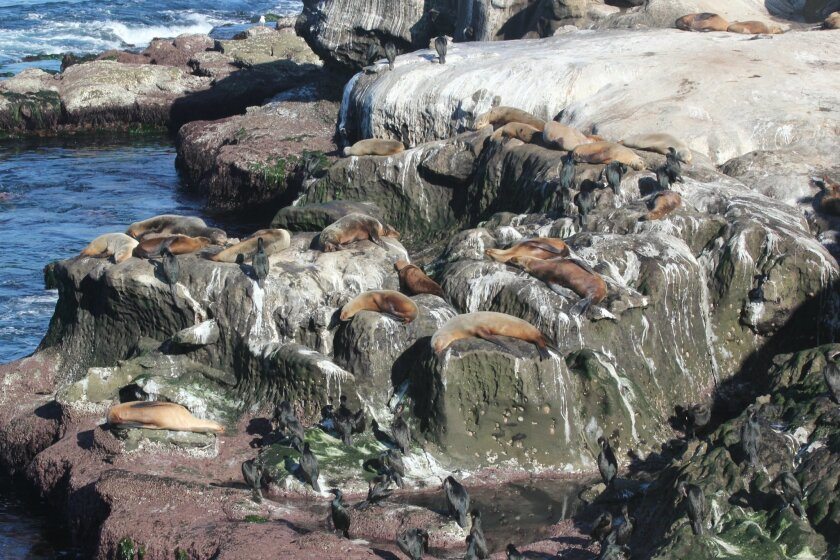 The sight of malnourished sea lions at La Jolla Cove has prompted numerous 911 calls.
