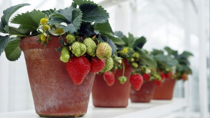 Fragaria (strawberry) plants growing in terracota pots in a line on window sill