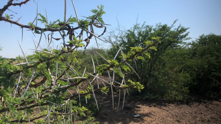 Thorny acacia trees are impinging on impinging on grasslands in South Africa. But goats think theyâ