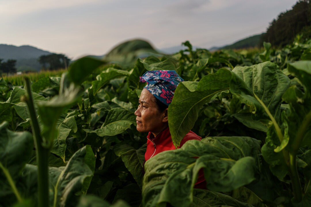 A Thai migrant pauses in the middle of a nearly 12-hour day picking tobacco leaves on a farm in South Korea.